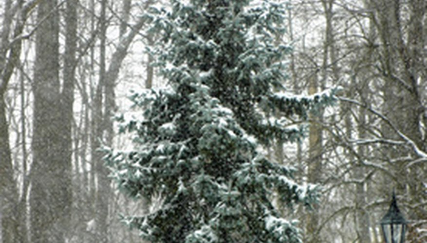 A blue spruce stands out in the snow