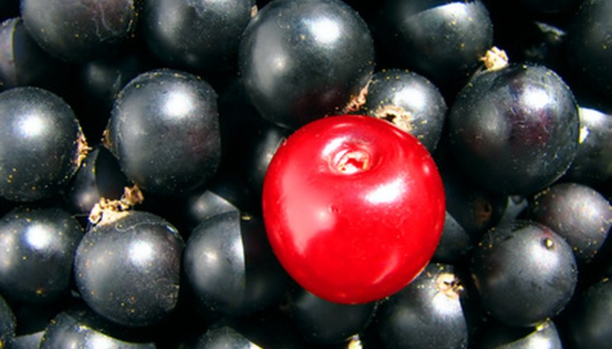 Wild black cherries may be smaller than other cherries, but their flavor is outstanding.