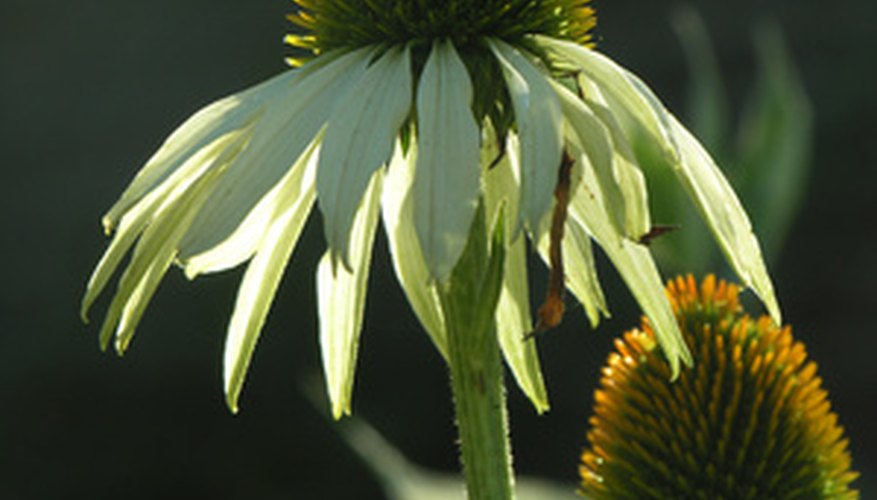 White coneflower in bloom.