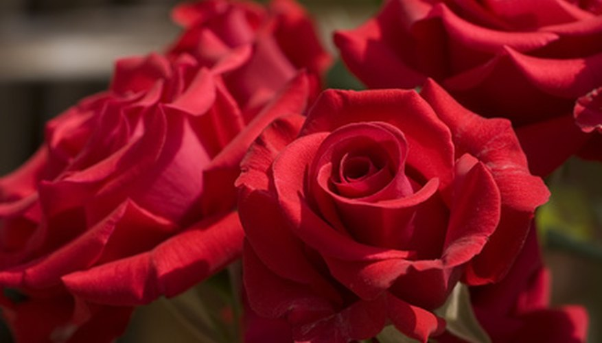 Roses are heavy feeders which reward gardeners with lush blooms.