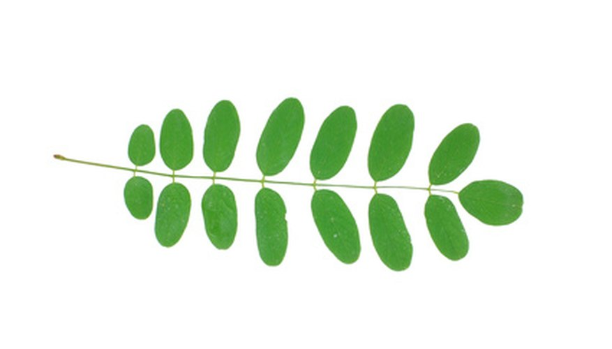 Black locust leaf diagram