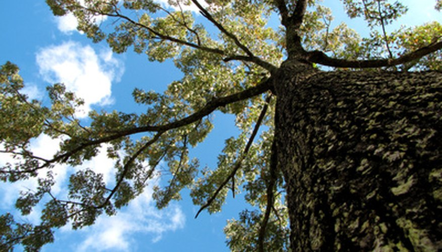 Different oak species vary in their maximum heights.