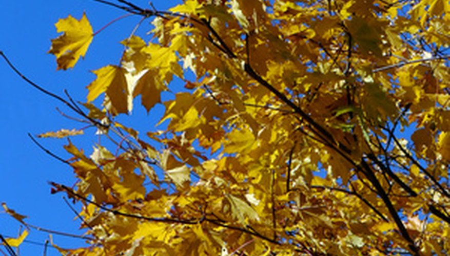 Fall foliage from a maple tree