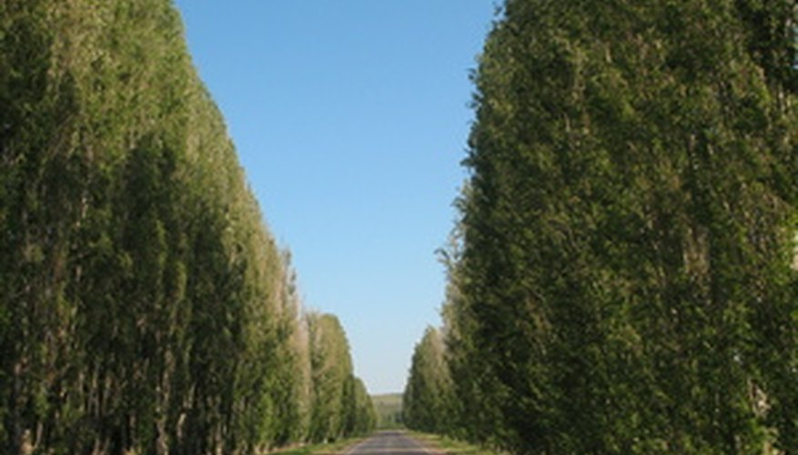 Some poplar trees are known for fast growth.