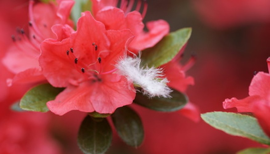 Azalea blooms come in a wide range of bright colors.