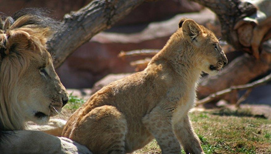 Los leones en la sabana comen casi cualquier tipo de animal, pero ellos prefieren a los animales más grandes.