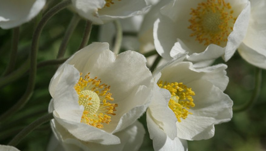 Windflower brings masses of poppy-like blooms to spring grdens.