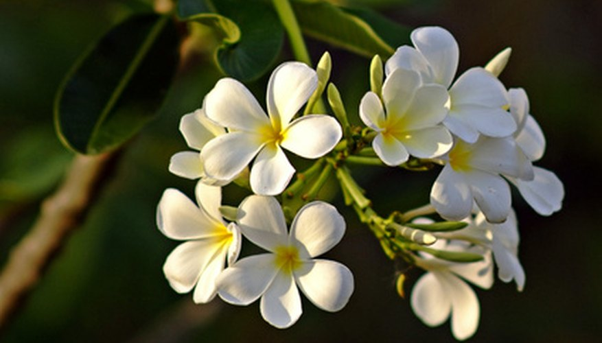 Singapore plumerias have creamy white blooms with yellow centers.