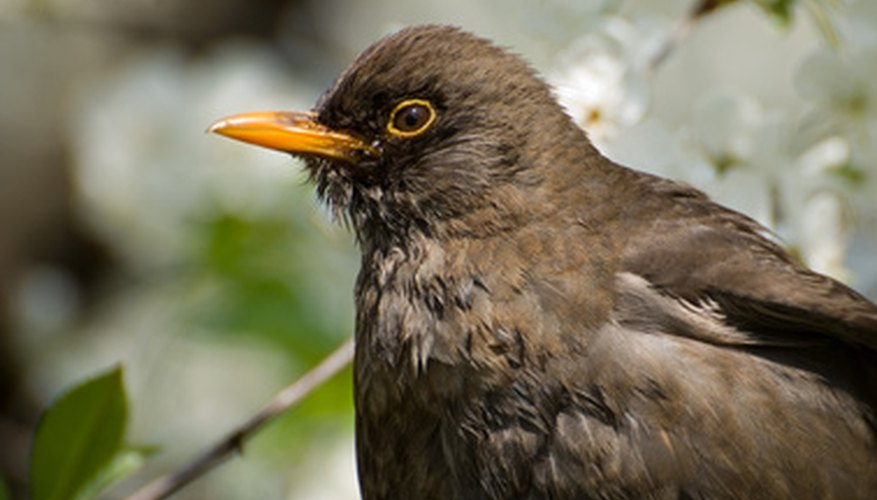 Blackbirds may be interesting to look at, but they are nuisance for many people.