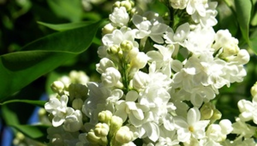 White lilacs are intensely fragrant.
