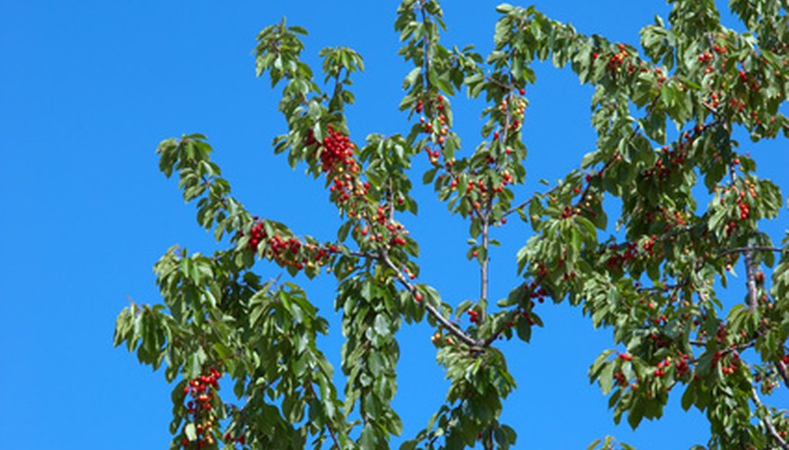 Cherry trees are grafted using buds, not twigs.