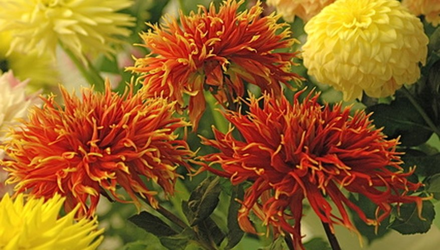 A cluster of brightly colored Dahlia flowers.