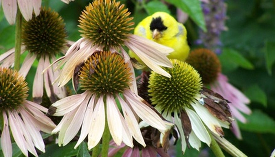 Gold finch at echinacea