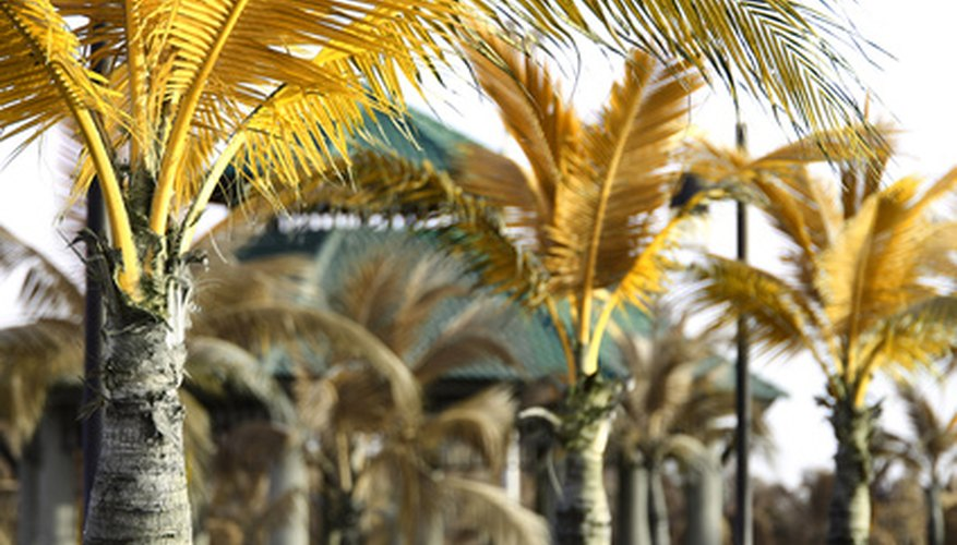 Coconut palm trees are grown for their fruit.