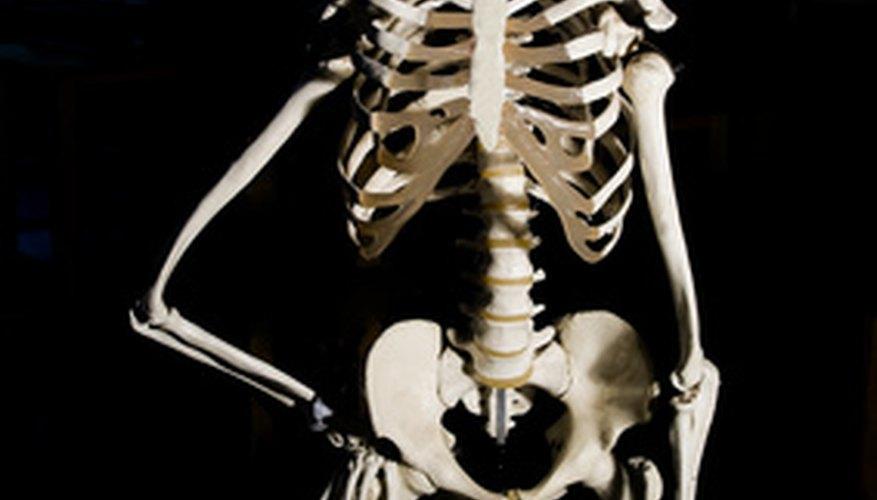 El esqueleto humano consiste en huesos fusionados e individuales.