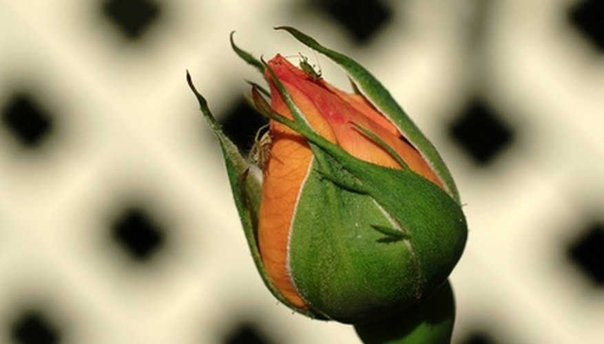 Aphids eat rose buds.