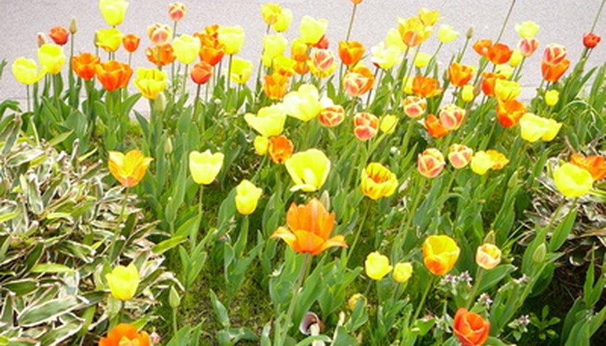 Los tulipanes plantados cada otoño en los jardines de las Tullerías cerca del Louvre florecen durante las primeras semanas de la primavera.