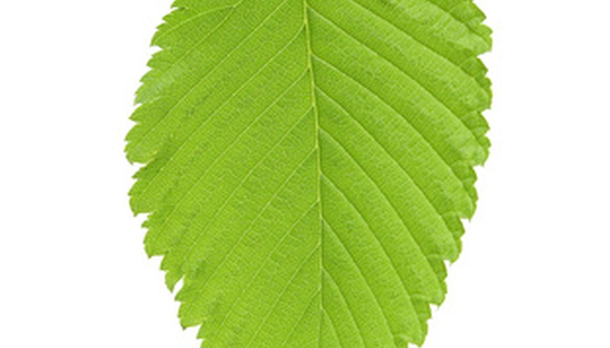 Elm leaves like this one have multiple veins and an asymmetrical base.