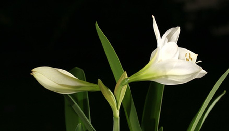 Amaryllis require a period of dormancy before blooming in late winter.