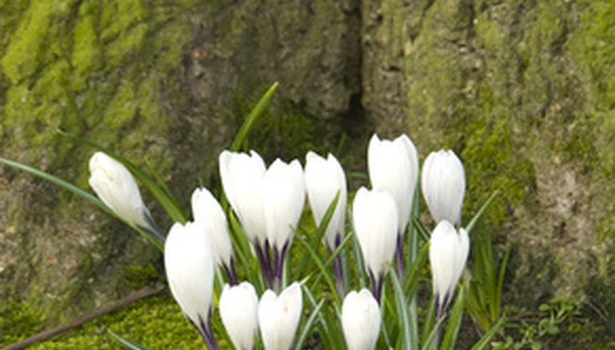 White crocus is an early bloomer.