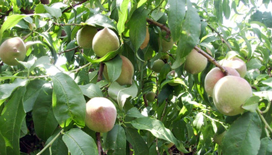 Thinning fruit from the peach tree produces larger growing fruits.