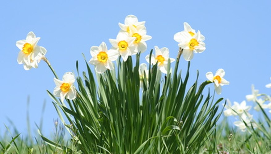 Daffodils can mean prosperity to others.