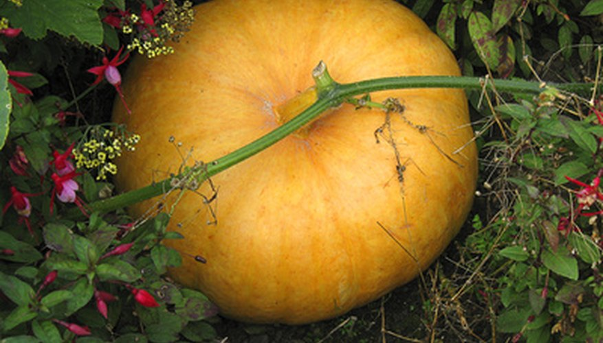 Some plants, like pumpkins, needs lots of room to grow.