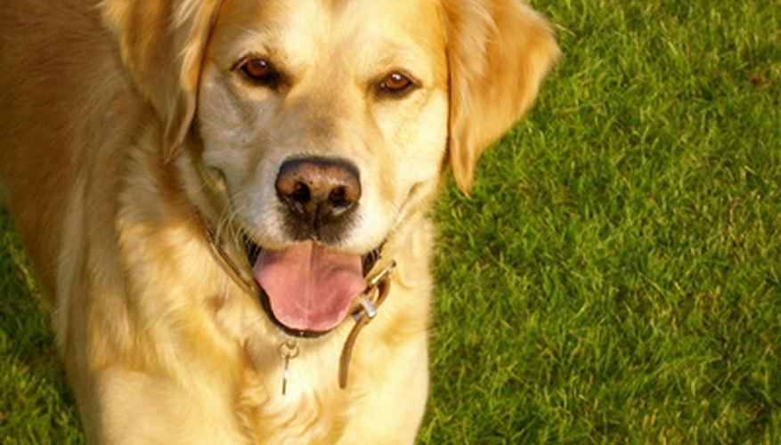 Golden retrievers are often used as guide dogs because of their patience and intelligence.