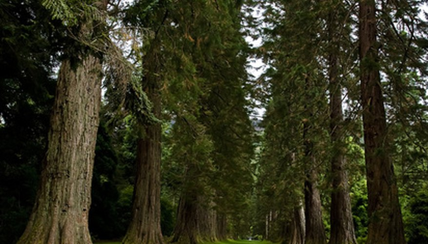 Sequoia or redwood trees are the largest trees in the world.