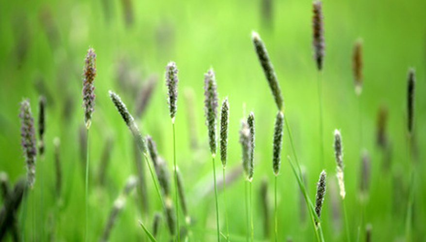 Buffel grass is a wind-pollinated grass.