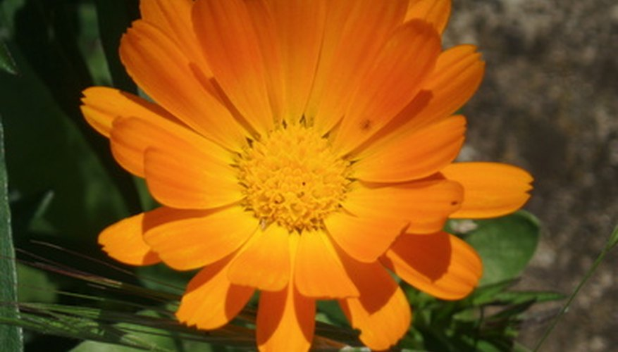 Calendulas grow well in Florida winters.