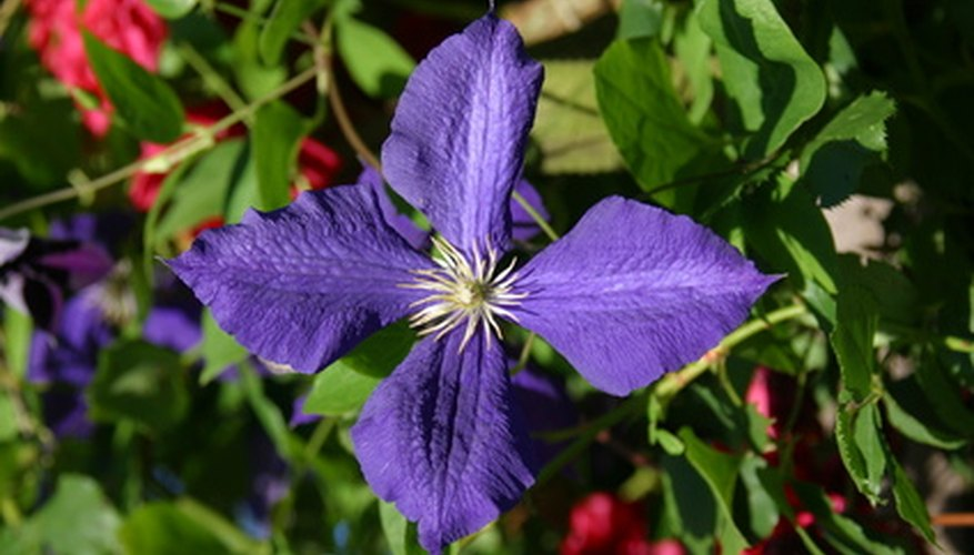 The profusely flowering Jackman Clematis is one of the most striking purple flowering vines in horticulture.