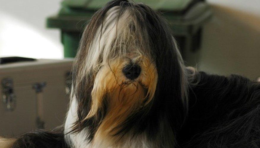 Los perros deben ser vacunados en edades tempranas si así lo recomendara el veterinario.