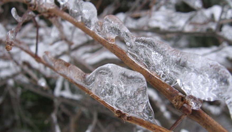 Winter ice can stop a hydrangea from blooming.