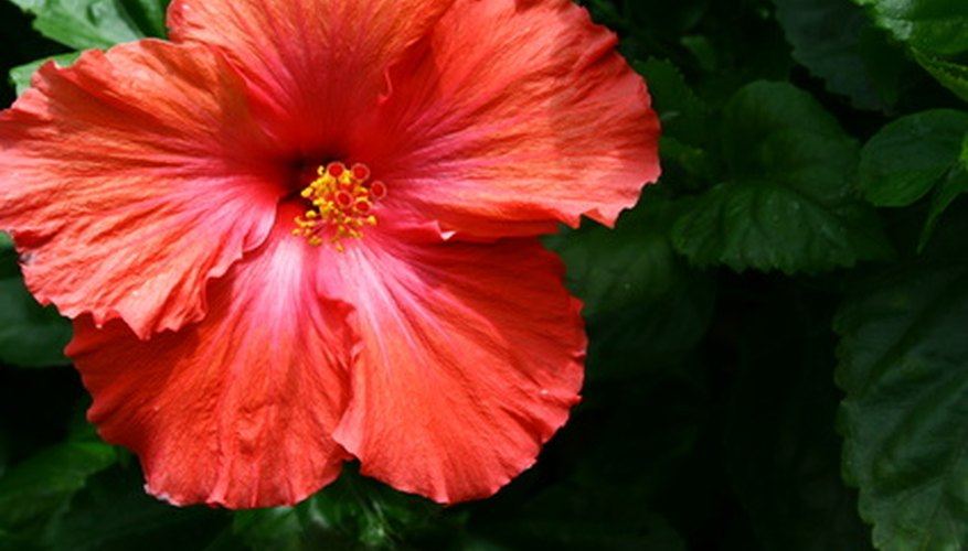 Red hibiscus flower in bloom