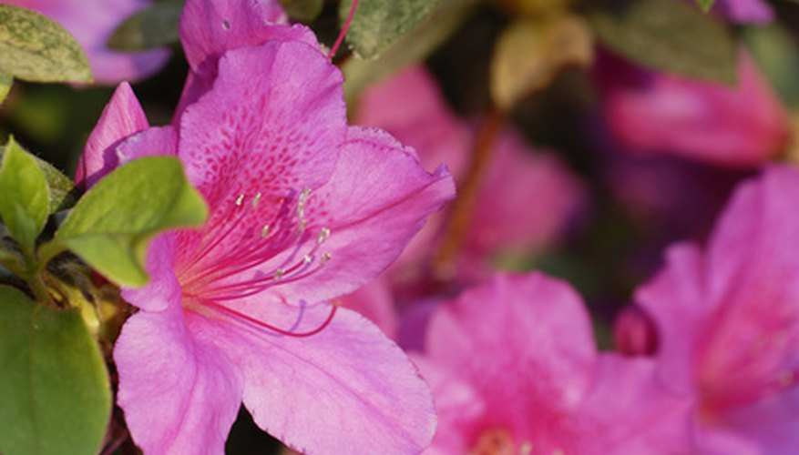 Azalea blooms in a variety of colors.