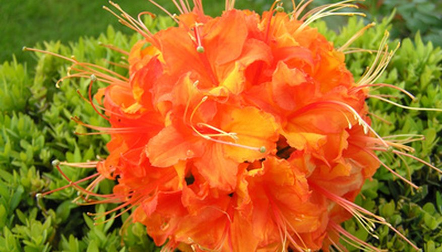 Healthy rhododendron are less susceptible to infection.