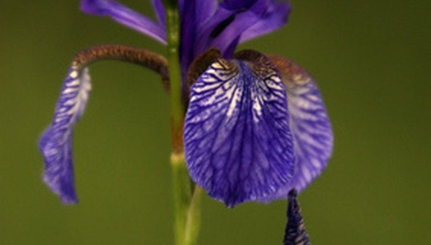 Lirio púrpura