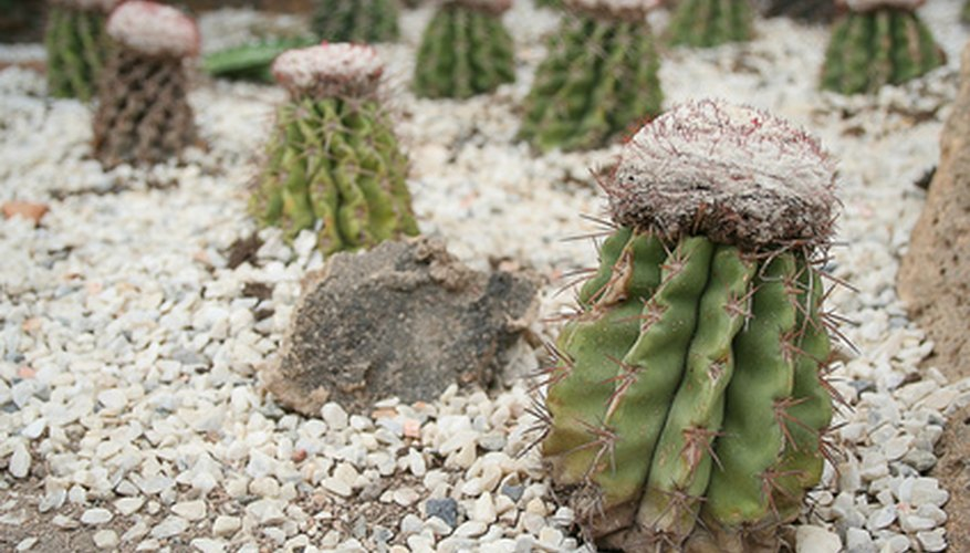 The cactus stores water by opening its pores at night instead of during the day.