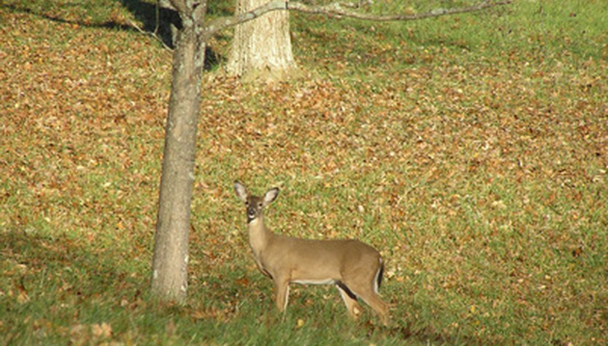 Hungry deer will make a meal out of your apple trees.