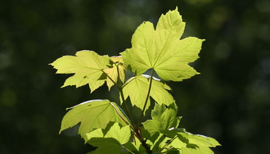 Sycamore leaves look much like maple leaves.