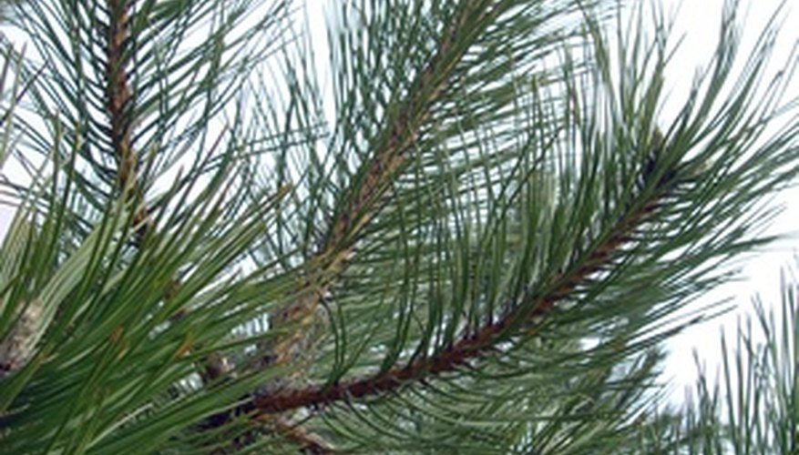 Pine trees exhibit disease-specific symptoms when in decline.