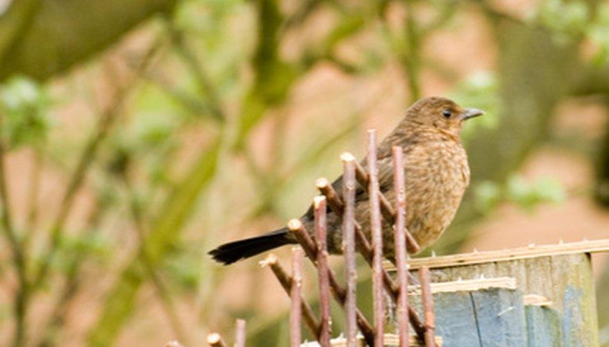 Las trampas para aves se pueden utilizar para capturar aves que comen y destruyen las plantas de tu jardín.