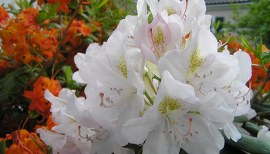 Rhododendrons bear clusters of flowers on the tips of stems.
