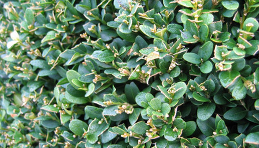 Boxwood's evergreen leaves add color to the winter landscape.