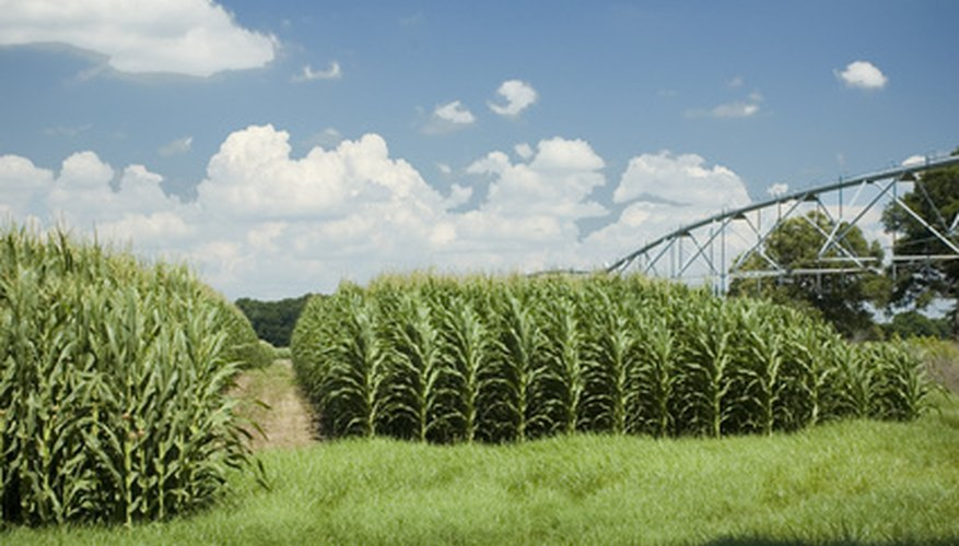 Iowa's soils produce millions of bushels of corn each year.