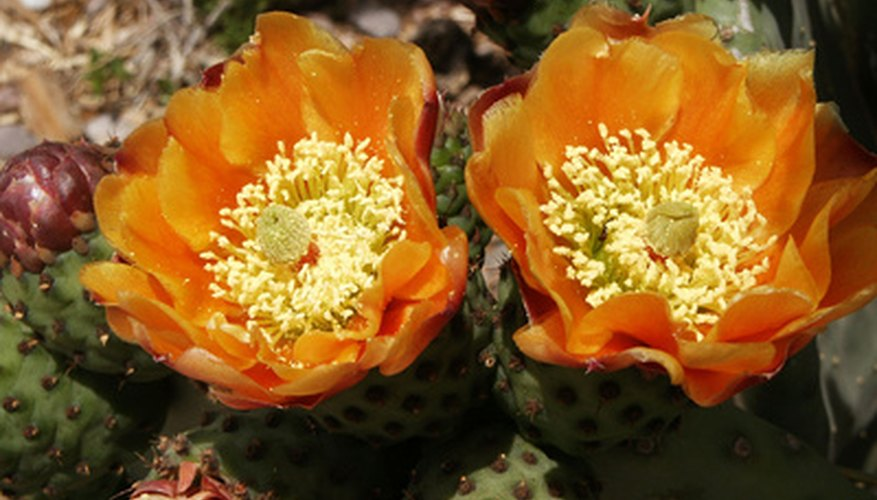 Flowering prickly pear grows throughout Nevada.