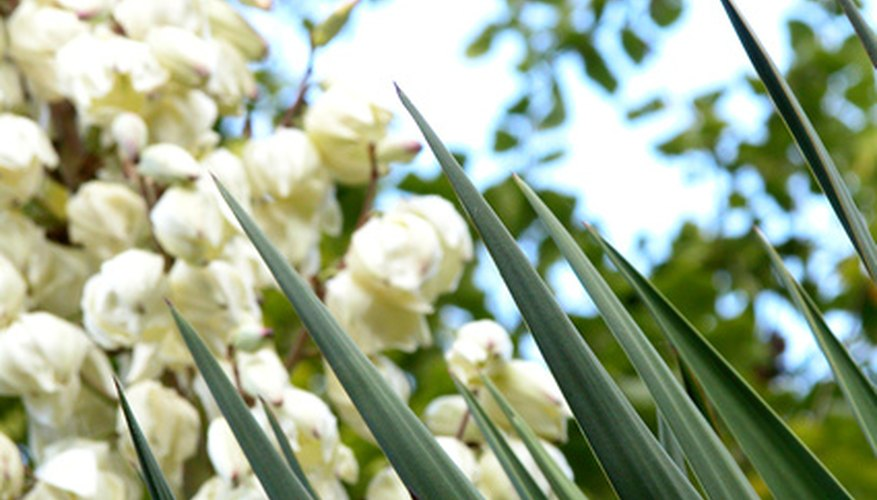 Yucca plants produce blossoms and sharp foliage.