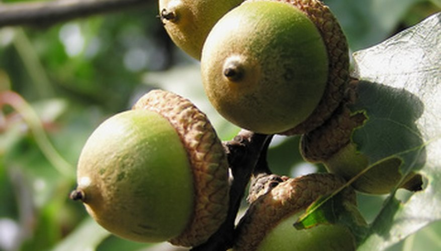 Acorns are the seeds of oak trees.