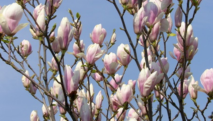 Magnolia have profuse, showy blossoms and shiny green leaves.